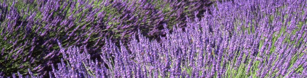 Ardèche - Private Tour Lavender Fields in Ardèche
